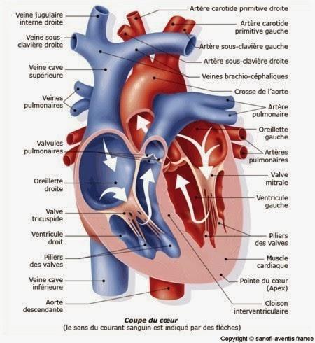 Anatomie cardio vasculaire r cap 39 ide - Dessin coeur humain ...