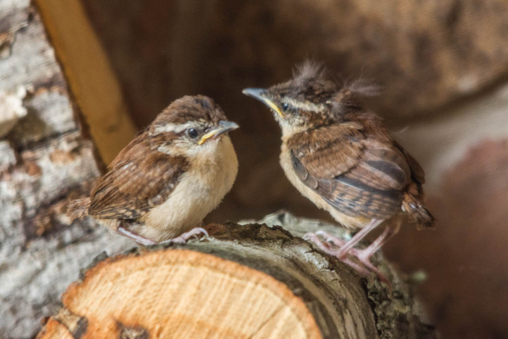 Carolina wren fledgling on wood pile