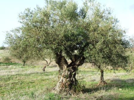 Oliveira (Olea europaea)