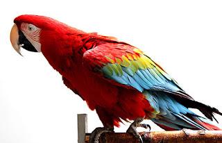 Burung beo macaw sayap hijau