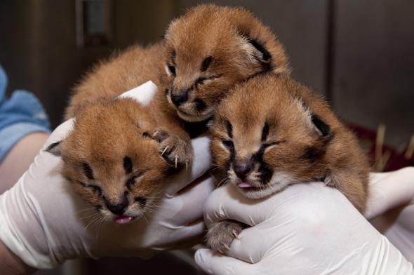 kucing caracal kucing paling eksotis di dunia-6