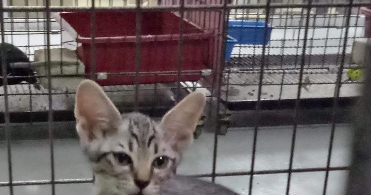 Anak Kucing Untuk Adopt Percuma Zul Amp Azizi Boarding Pets