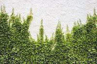 Beyaz tuğlalı bir duvara tutunarak tırmanan bir duvar sarmaşığı