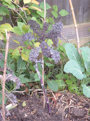 A spindly kale plant tied to a stake