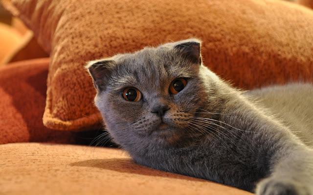 Grijze kat relaxen op de bank