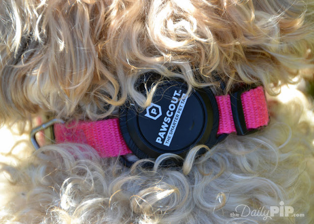 Pawscout The Smarter Pet Tag attached to a dog's pink collar