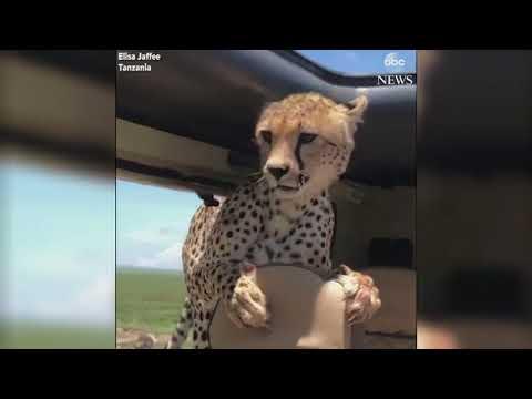 Гепард заскочил в машину во время сафари. Видео.