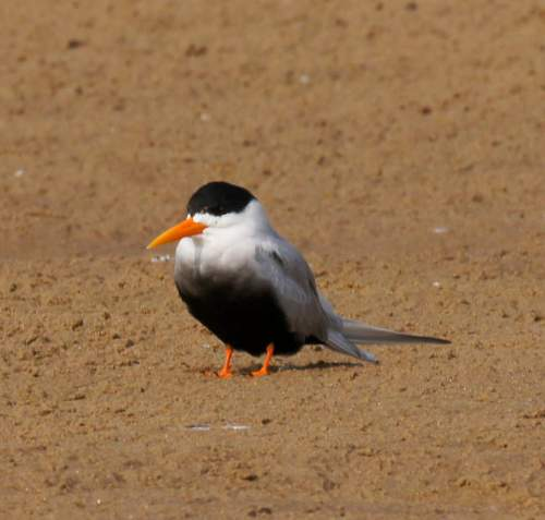 Birds of India - Photo of Black-bellied tern - Sterna acuticauda