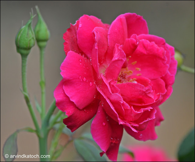 Beautiful, Red Rose, Rain Drops, flower,