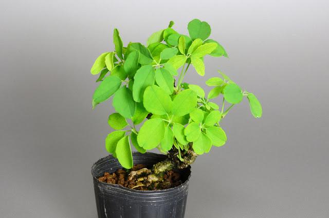 アケビC(木通盆栽)Akebia quinata bonsai
