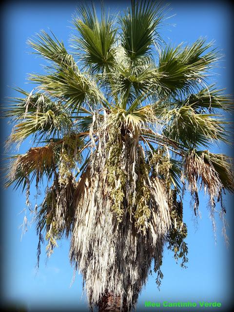 folhas palmeira-de-saia-da-califórnia - ( Washingtonia filifera )