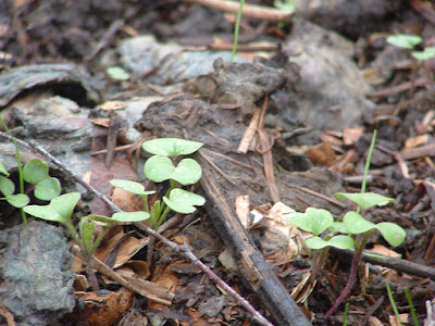 Photo close up of mustard and rye seedlings