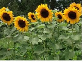 Bunga matahari (compositae) - pustakapengetahuan.com
