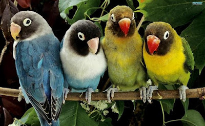 Tips Mengetahui Ciri Ciri Burung Yang Sedang Mengalami Over Birahi