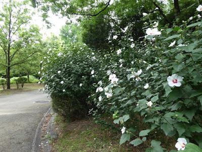 花博記念公園鶴見緑地 むくげ