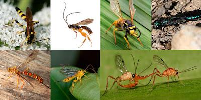 ωφέλιμα έντομα-σφήκες