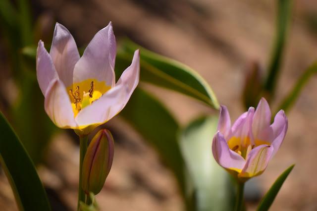 tulipa saxatalis, spring bulbs, desert garden, small sunny garden, photography, amy myers