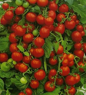Выращиваем в открытом грунте