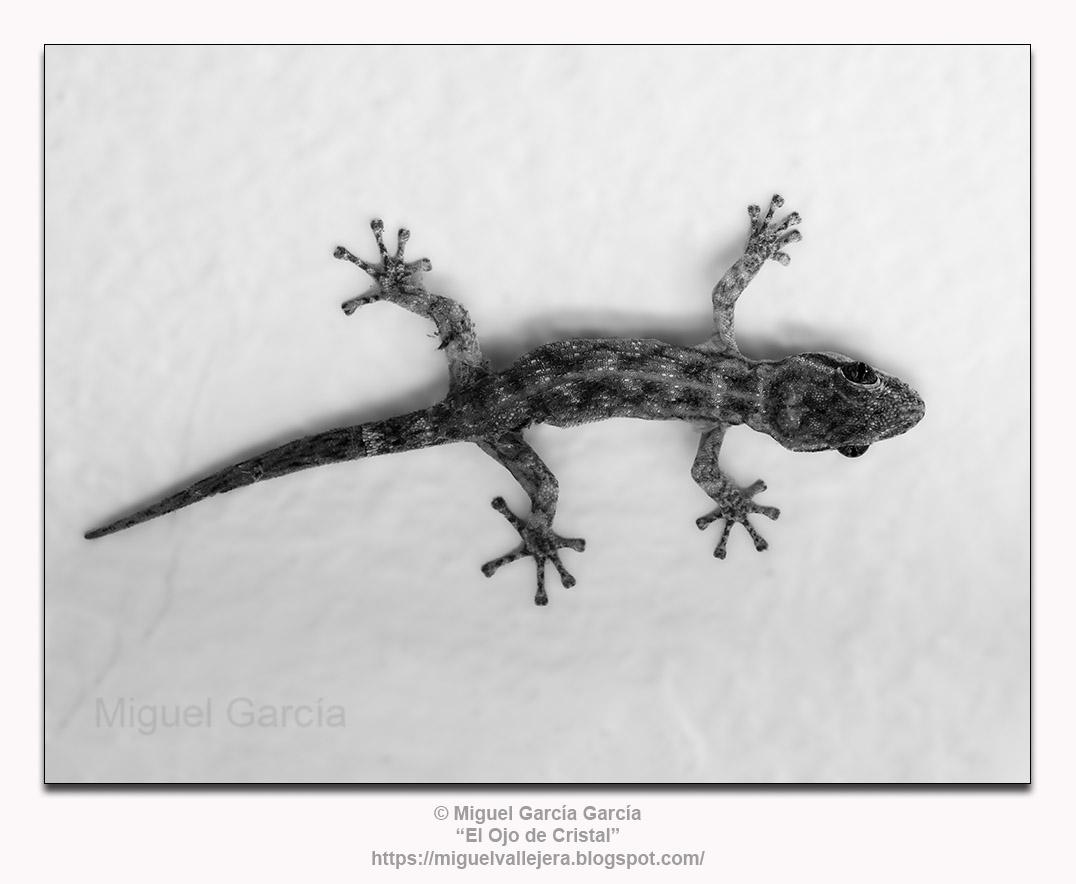 Jañape (Gecko)