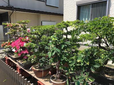 Flowers blooming on the bonsai trees which were bare the previous month