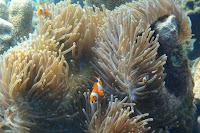 ikan nemo ikan badut karimunjawa