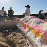 Австралийские палеонтологи исследуют содержимое желудка динозавра