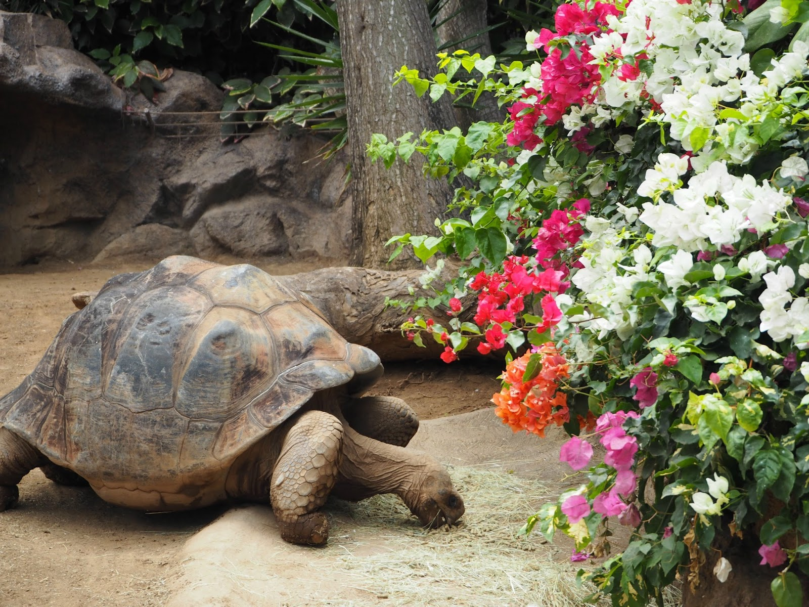 Giant turtle Loro Parque