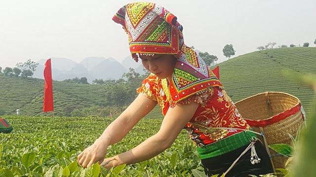 Moc Chau Tea Festival opens 1