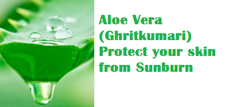 Aloe Vera (Ghritkumari) Protect your skin from Sunburn