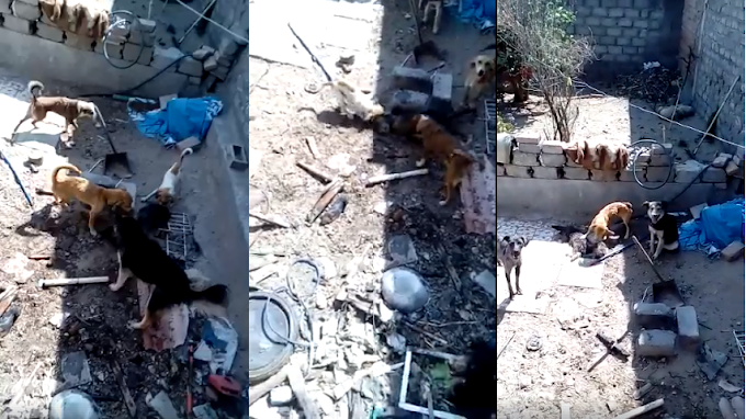Perros se comen entre sí para poder sobrevivir  VÍDEOS