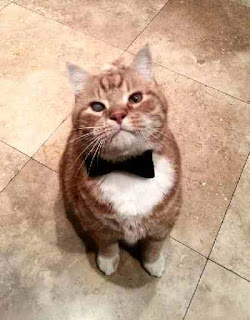 Cat wears a bow tie