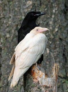 Albino crow - photo#48