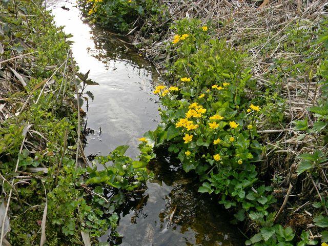 kaczeńce, wiosenne kwiaty, woda, przyroda