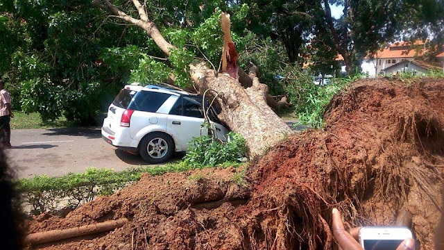 Man-escapes-death-after-giant-mahogany-tree-fell-on-his-car-(Photos)