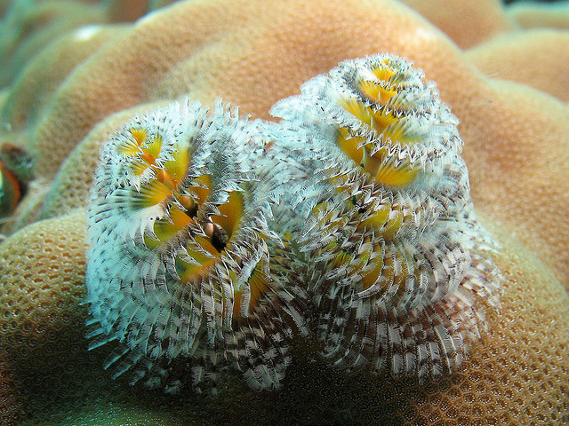 Real Monstrosities: Christmas Tree Worm