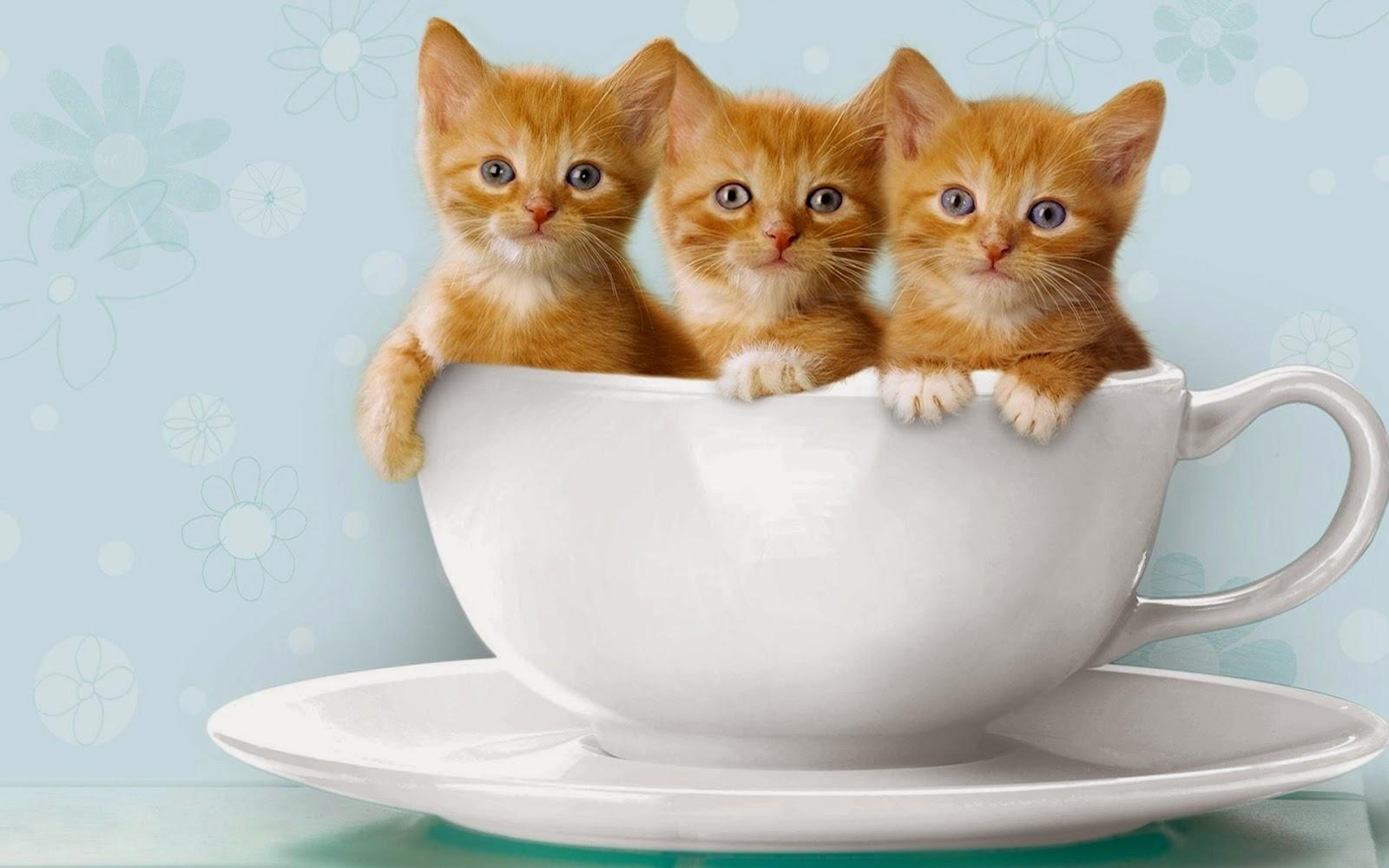 Gambar Wallpaper Lucu Kucing