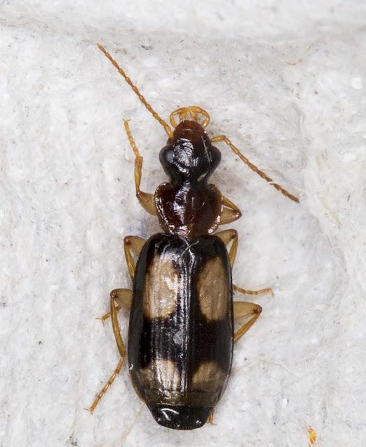 Beetle, Dromius quadrimaculatus.  In my garden light trap in Hayes on 9 August 2015