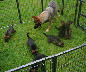 Ruby the German Shepherd with her pups outside in the garden pen