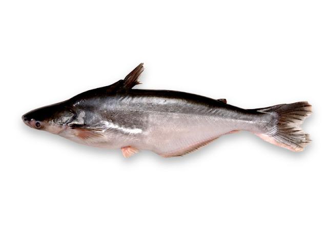 Ternak Ikan, Budidaya Ikan Patin pada kolam terpal, Cara memelihara ikan patin pada kolam terpal, ternak ikan patin pada kolam terpal, cara membuat kolam terpal ikan patin, Budidaya ikan patin,