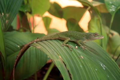 Lagarto verde en Costa Rica