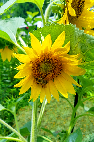 image of a sunflower surrounded by various green plants, with a big, fuzzy bumblebee right at its center