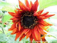 Słonecznik zwyczajny- Helianthus annuus