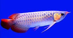 Jenis Ikan Hias Air Tawar Yang Mudah Dipelihara Arwana
