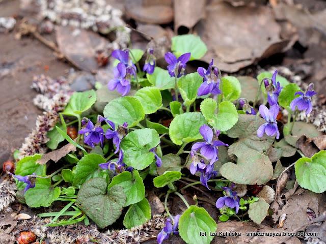 fiolki wonne, kwiatki, kwiaty jadalne, las, las bemowski, spacer po lesie, prosto z lasu
