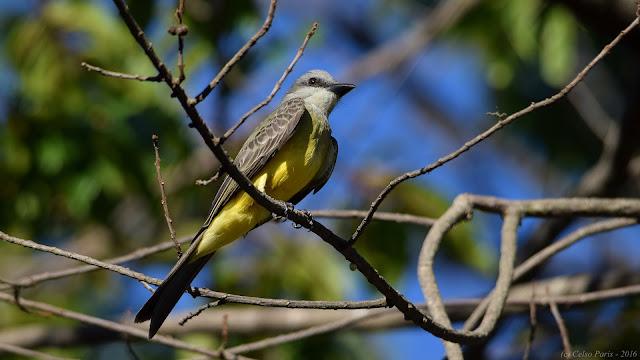 Tropical Kingbird Tyrannus melancholicus Siriri Suiriri