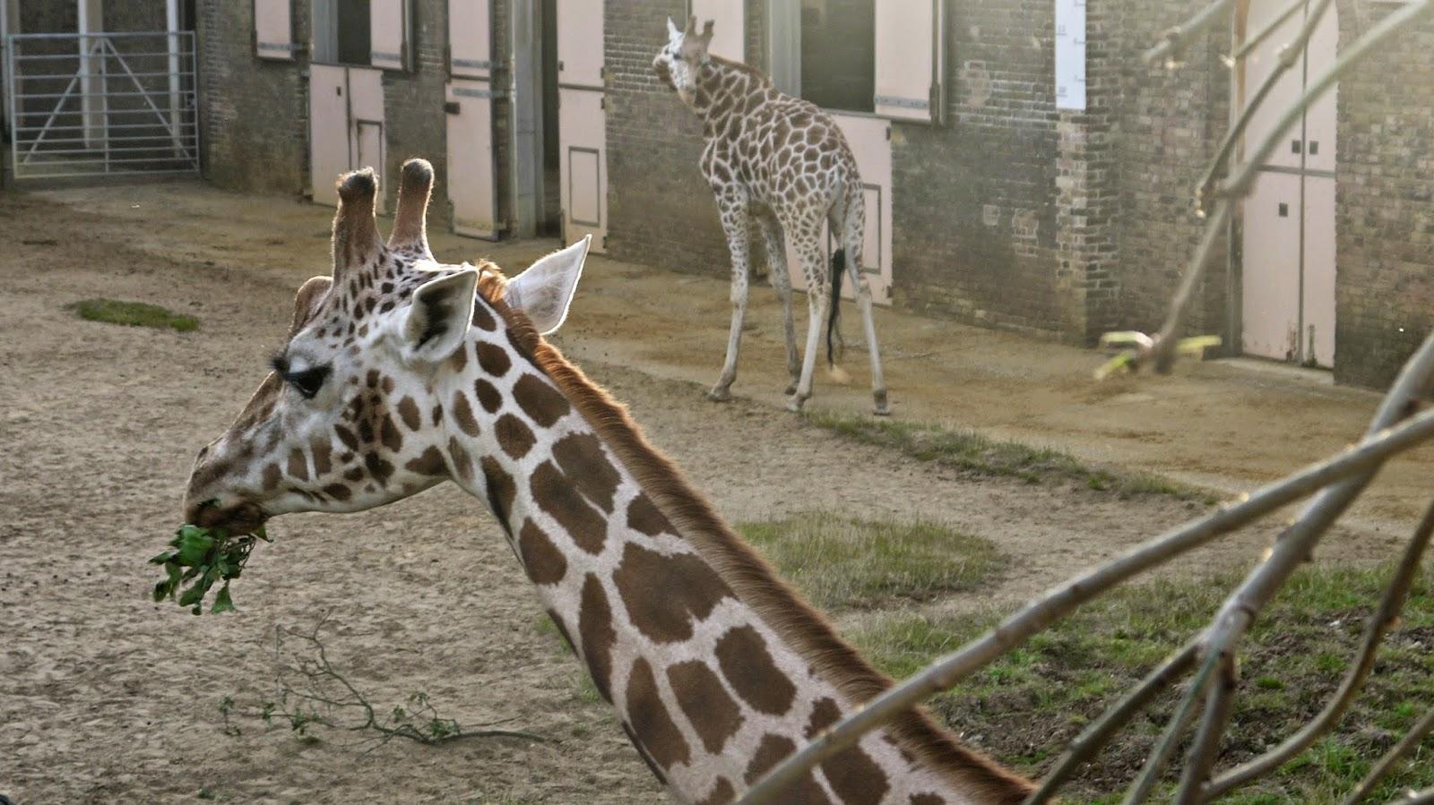London Zoo Giraffes