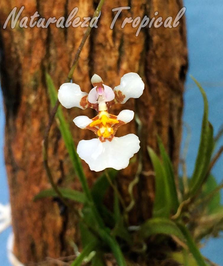La pequeña orquídea Tolumnia variegata