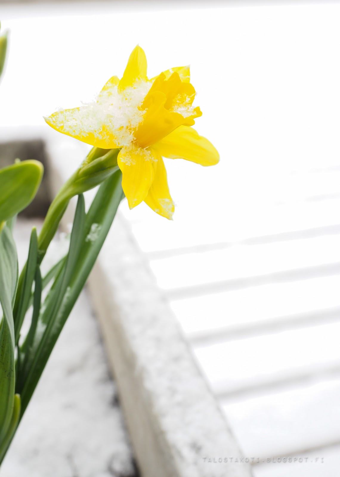 kevätmessut, kevät, narsissi, terassi