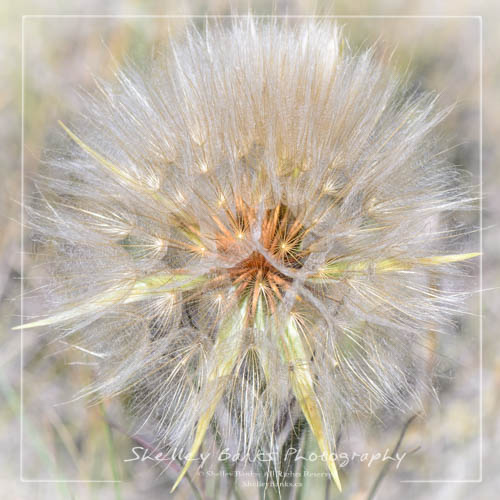 Goat's-beard seedhead - Western Salsify, Tragopogon dubius. Copyright © Shelley Banks, all rights reserved.