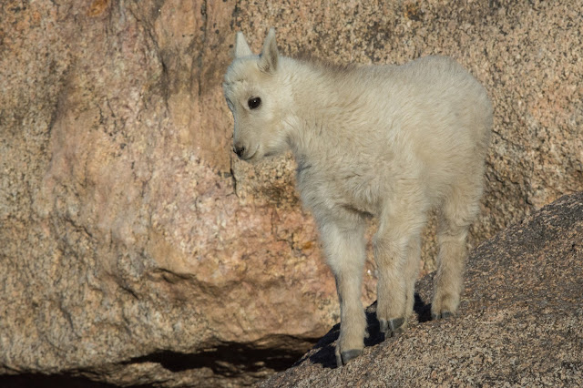 Mountain Goat Kid, Mount Evans